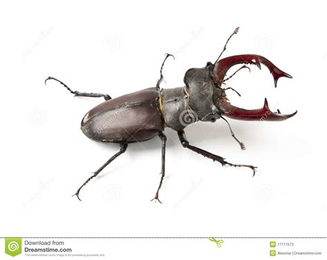 Male Stag Beetle Stock Photos - Image: 17117573