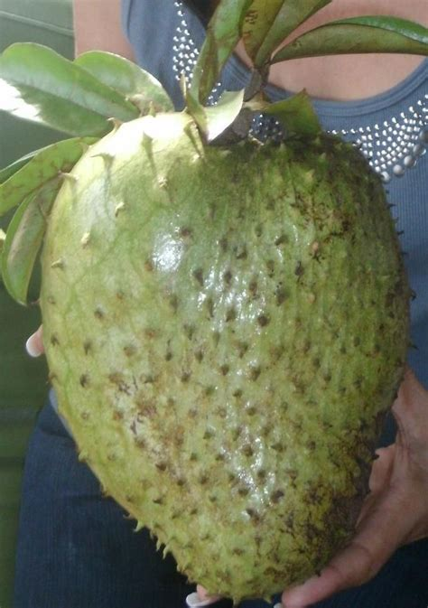 Soursop but also known as Guanabana in the Spanish