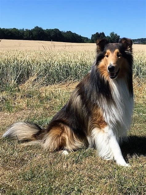 Country-Roads Collies » Startseite