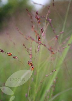 LODI - 'Shenandoah' Switch Grass, try in container first