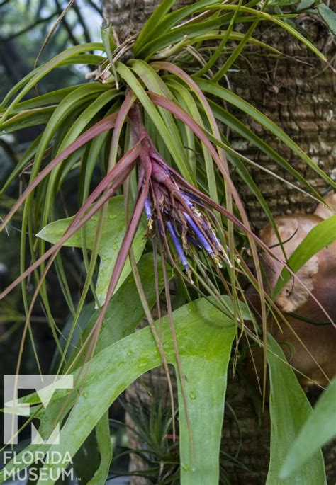 Plants of the Air – Florida Museum