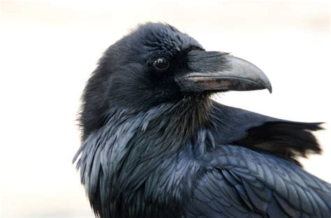Best Raven Bird Stock Photos, Pictures & Royalty-Free