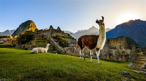 Mites that feed on llama poop may track the rise and fall